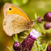 1st July 2015    - Meadow Brown by pamknowler