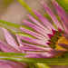 Pink Gazanias by ziggy77