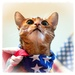 Proud to be an American...Abyssinian by berelaxed