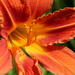 Day lily by busylady