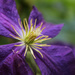 Clematis by nanderson