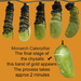 Monarch Caterpillar Chrysalis Stages
