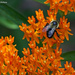 Butterfly Weed and the Bee