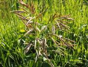 2nd Jul 2015 - Grasses
