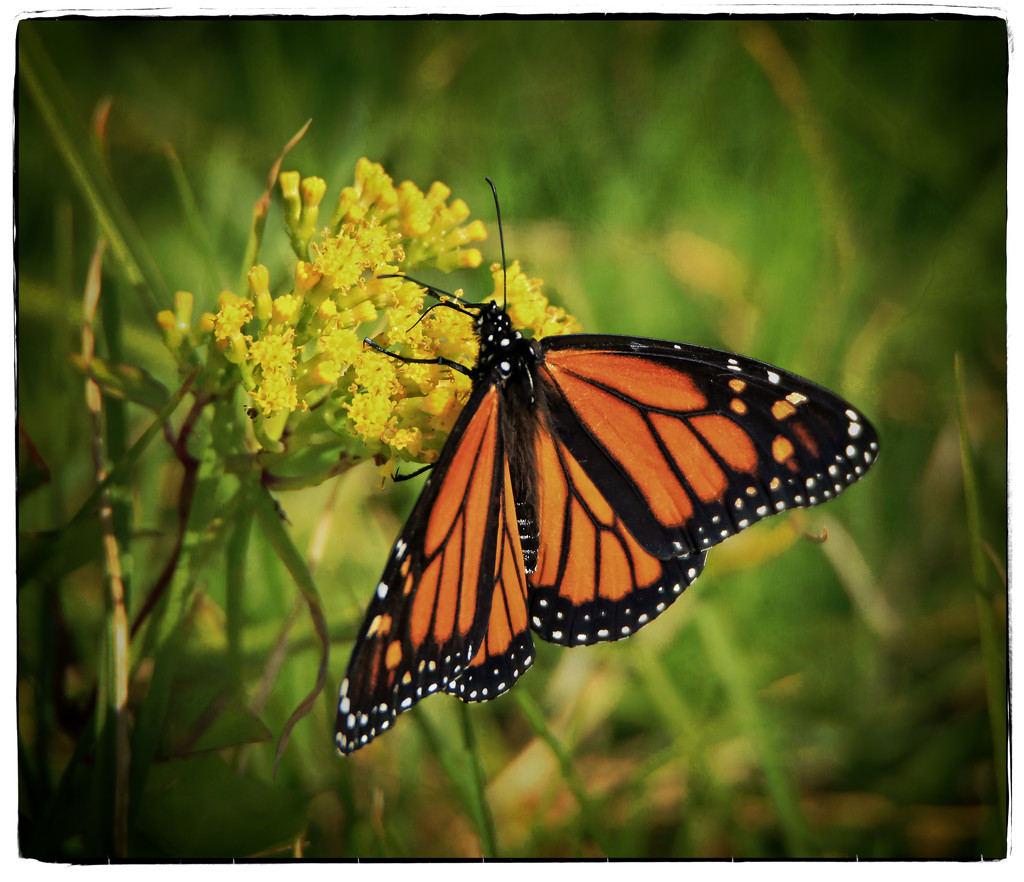 Monarch Beauty by rustymonkey