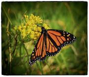 4th Jul 2015 - Monarch Beauty