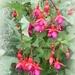 Fuchsia by beryl