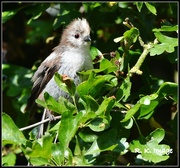 4th Jul 2015 - Fluffy baby long tailed tit