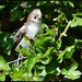Fluffy baby long tailed tit by rosiekind