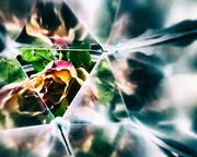 4th Jul 2015 - a rose in a prism