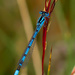 4th July 2015    - Damselfly by pamknowler