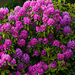 Rhododendron by elisasaeter
