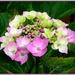 Hydrangea by beryl