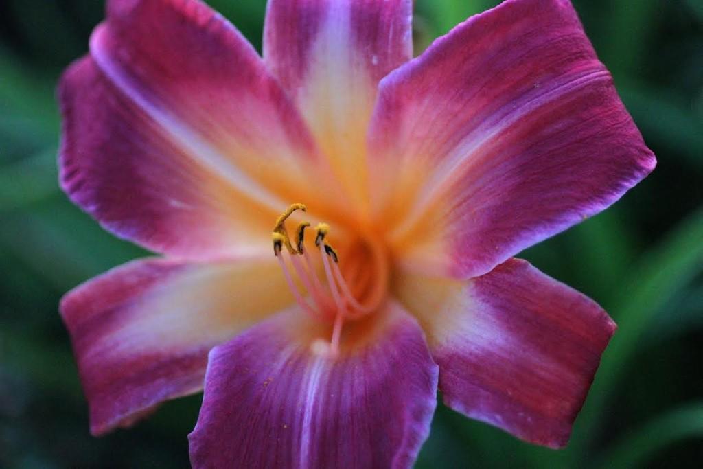 Daylily by whiteswan