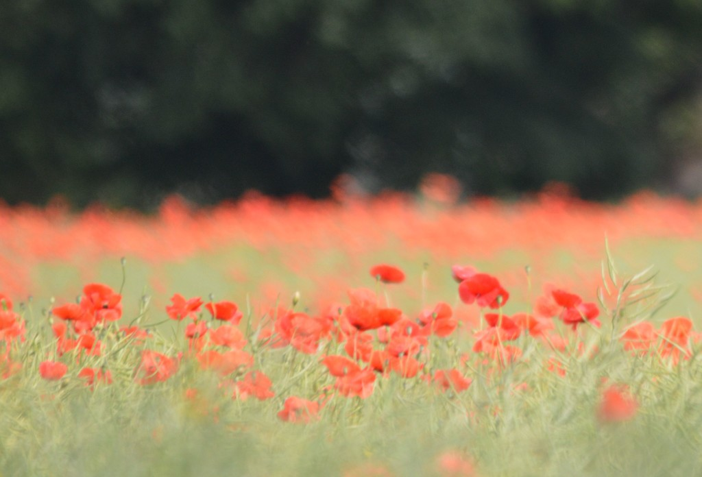 Drive by Poppies by barneyone