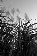 5th Jul 2015 - Sugarcane plants