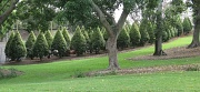 13th Nov 2010 - Shaped Conifers - Roma Street Parklands