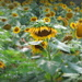 fieldofsunflowers by homeschoolmom