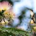 All around the Mimosa tree