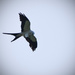 Bird in Flight (Split Tail Kite) by rickster549