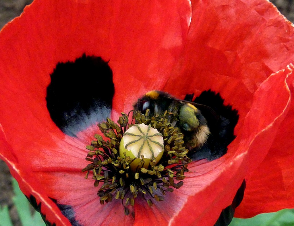 There's A Bee In My Poppy What Am I Going To Do ? by phil_howcroft