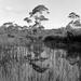 Reedy pond by peterdegraaff