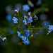 Forget-me-not by elisasaeter