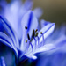 2015 07 08 - Agapanthus by pixiemac