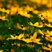 Coreopsis by dianen