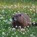 George Groundhog by selkie