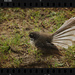 Fantail by rustymonkey