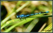 9th Jul 2015 - Common Blue Damselfly