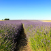 2015 07 09 - Lavender's Blue Dilly Dilly by pixiemac