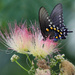 Pipevine Swallowtail by cjwhite