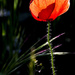 A poppy on the edge by shepherdman