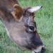 A Cow by salza