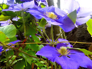 10th Jul 2015 - Clematis....