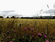 11th Jul 2015 - Wild flowers growing along the edge of a cornfield.