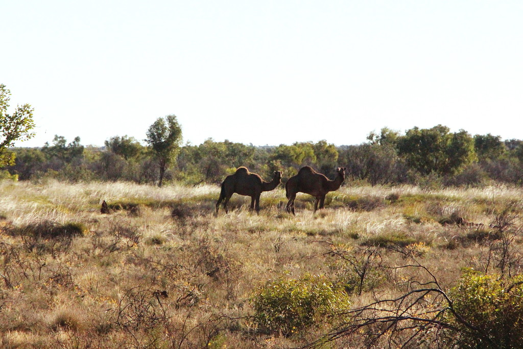 Day 16 - Feral Camels by terryliv