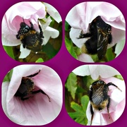 13th Jul 2015 - The Endevours of a Bee.