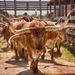 Cattle Drive by lynne5477
