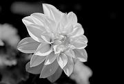 13th Jul 2015 - Dahlia in Black and White