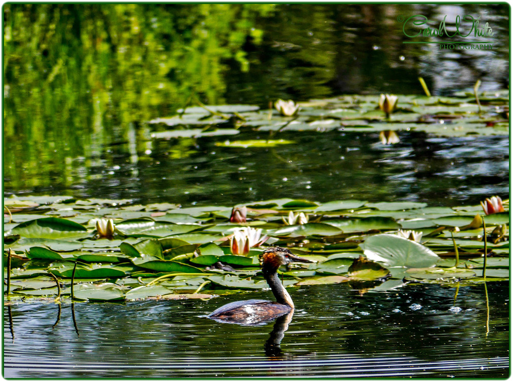 Great Crested Grebe and Waterlilies by carolmw