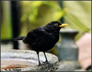 14th Jul 2015 - Mr Blackbird