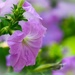Pink petunia by mittens
