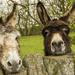 Yorkshire Donkeys by shepherdman