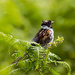 14th July 2015    - Reed Bunting (I think) by pamknowler