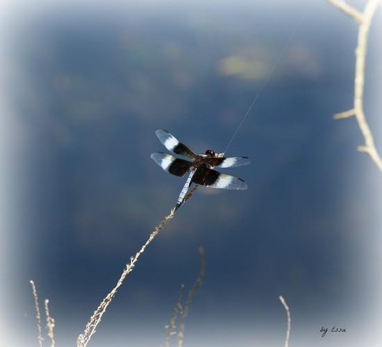 Dragonfly by essiesue