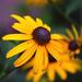 Yellow Coneflower by dsp2