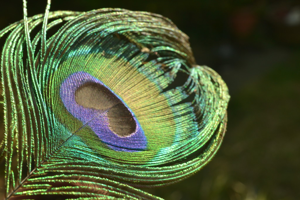 Peacock feather  by ziggy77